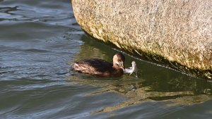 A brave little grebe