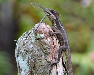 Brown basilisk lizard with a dragonfly meal