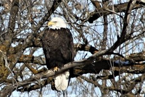 Bald eagle 1 of 3 in tree