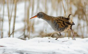 Ski star   Water rail