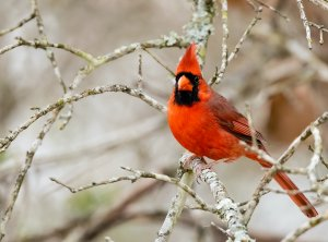 Northern Cardinal (male).jpg