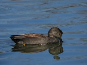 Handsome Gadwall