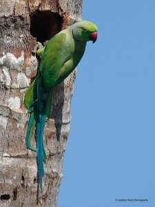 Rose-ringed Parakeet (or Ring-necked Parakeet)