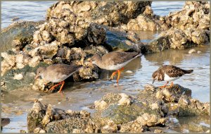 Redshanks and Turnstone.