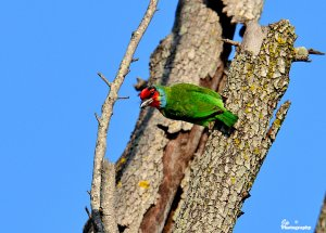 Malabar Barbet   / Crimson-fronted Barbet
