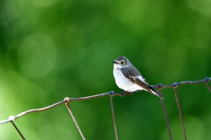 Pied Flycatcher ♀