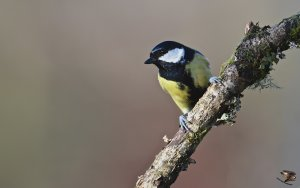 Great Tit 2012.jpg