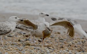 Great Black-backed Gulls 8418 .jpg