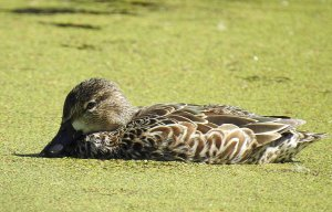 Female Blue-winged Teal.jpg