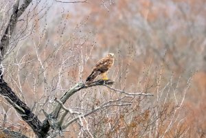 Female Northern Harrier, perched