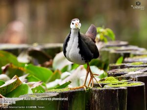 White-breasted Waterhen, Taiwan