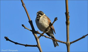 Reed Bunting.  ( Male )