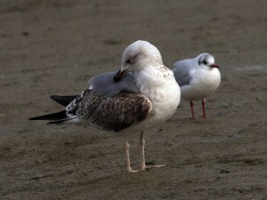 Yellow-legged Herring Gull, Black-headed Gull