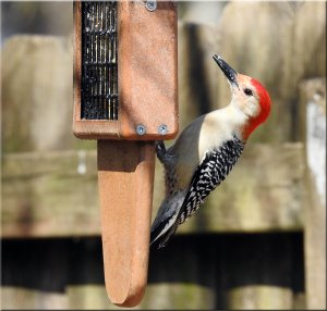 Male Red-bellied Woodpecker..jpg
