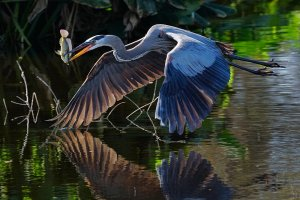 Great blue heron bringing home the dinner