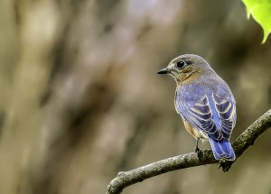 Eastern Bluebird (female).jpg