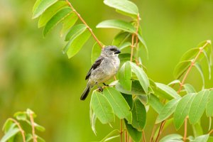 Plumbeous Seedeater