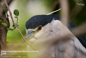 Black-crowned Night Heron, Taiwan