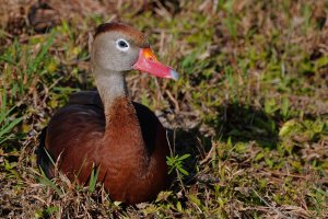 Black-bellied whistling duck - blue-eyed son