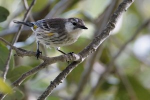 A slightly different Yellow-rumped warbler