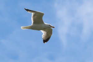 104- Larus michahellis Yellow-legged Gull- 27 mai 2019.jpg