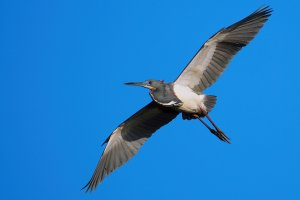 Tricolored heron flying high