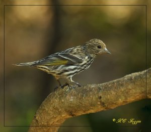 Pine Siskin in the early morning