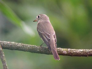 Asian flycatcher