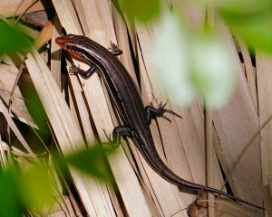 Five-lined skink on the forest floor
