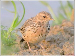 Red-throated Pipit in breeding plumage