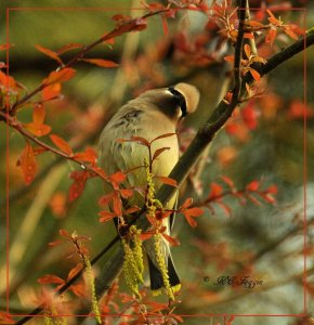 One more Waxwing in the blooming leaves.