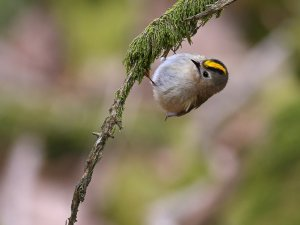 The world is upside down. Goldcrest