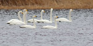 2 Tundra swans together with Whoopers