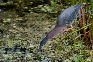 Green heron showing its hidden neck