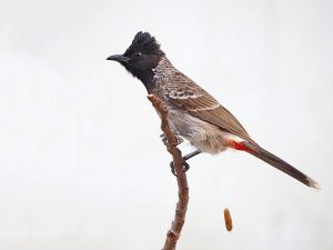oops, red-vented bulbul