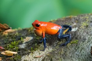 Strawberry Poison-dart Frog ( Blue Jeans Frog to Americans)
