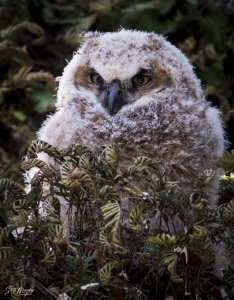 Great Horned Owl Owlet