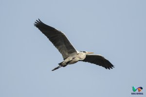 Grey Heron in flight (Ardea cinerea).jpg