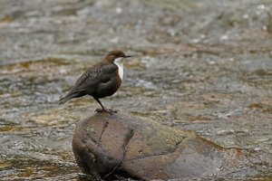 (White-throated) Dipper