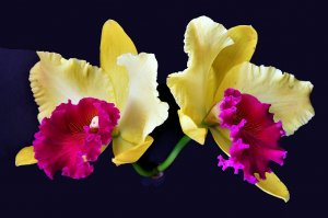 My Yellow and red cattleya orchid, this year bloom during Easter. Happy Easter to all Birdforum members.