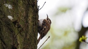 Tree Creeper_01.JPG