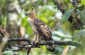 Wallace's hawk-eagle 小鷹鵰 @ Malaysia 2019