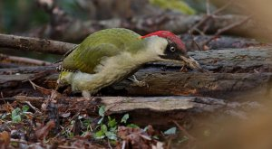 Lumberjack?   Green Woodpecker