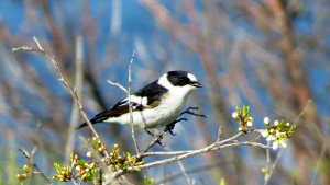 Collared Flycatcher male
