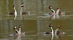 Great-Crested Grebes Displaying.