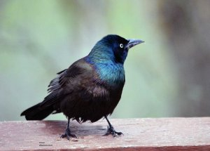 Common Grackle , male