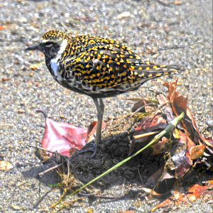 Pacific Golden Plover with breeding plumage