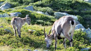An ibex cub with his mother