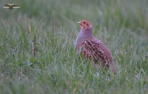 Grey Partridge 0082.jpg