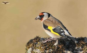 Goldfinch 8485.jpg